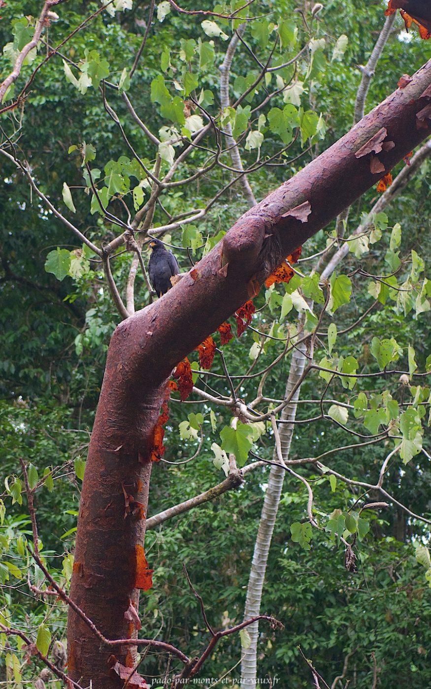 Buse noire sur un arbre du Gringo