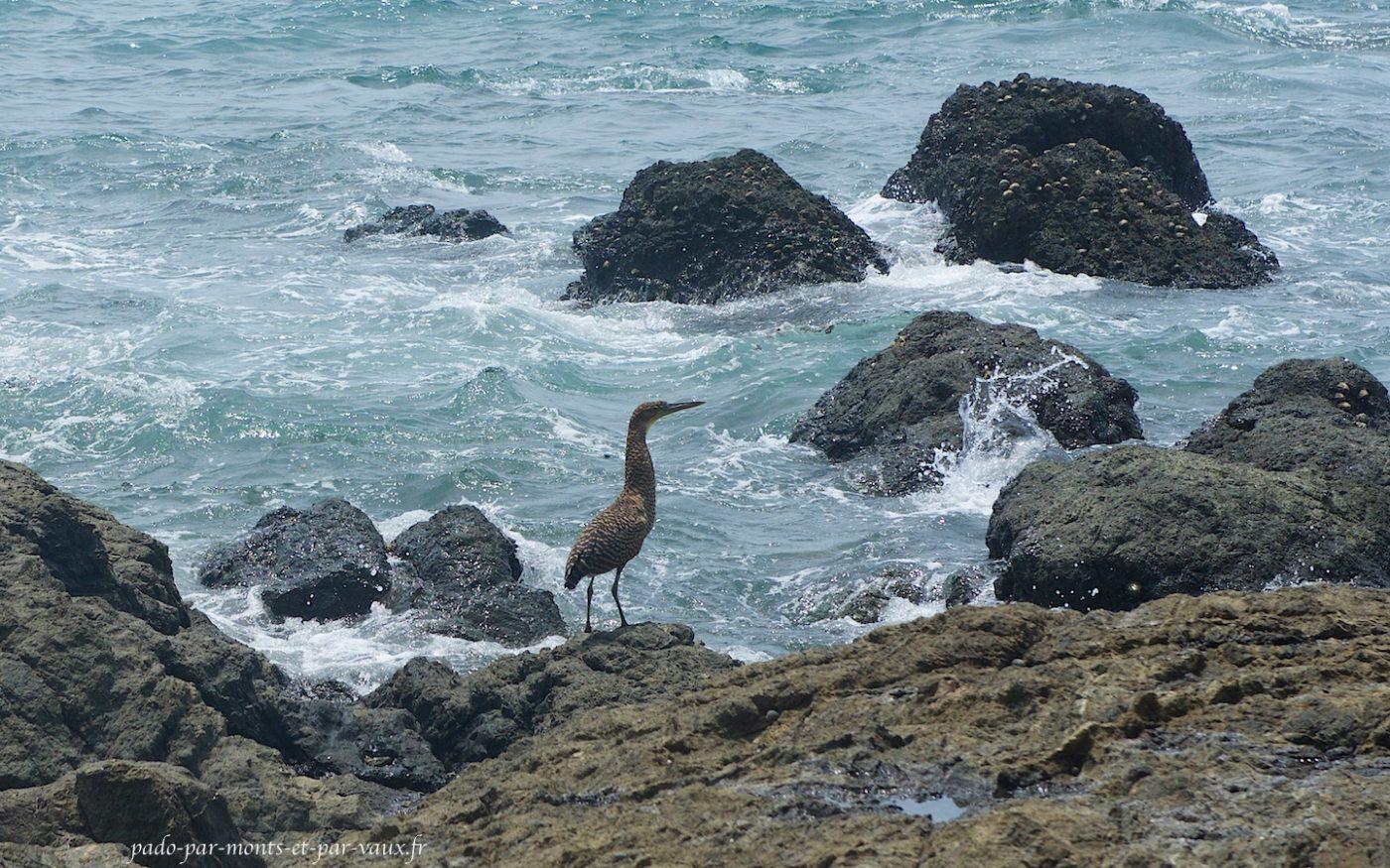 Costa Rica 2016 -Sirena a Carate -Oiseaux -Onore du Mexique juvenile