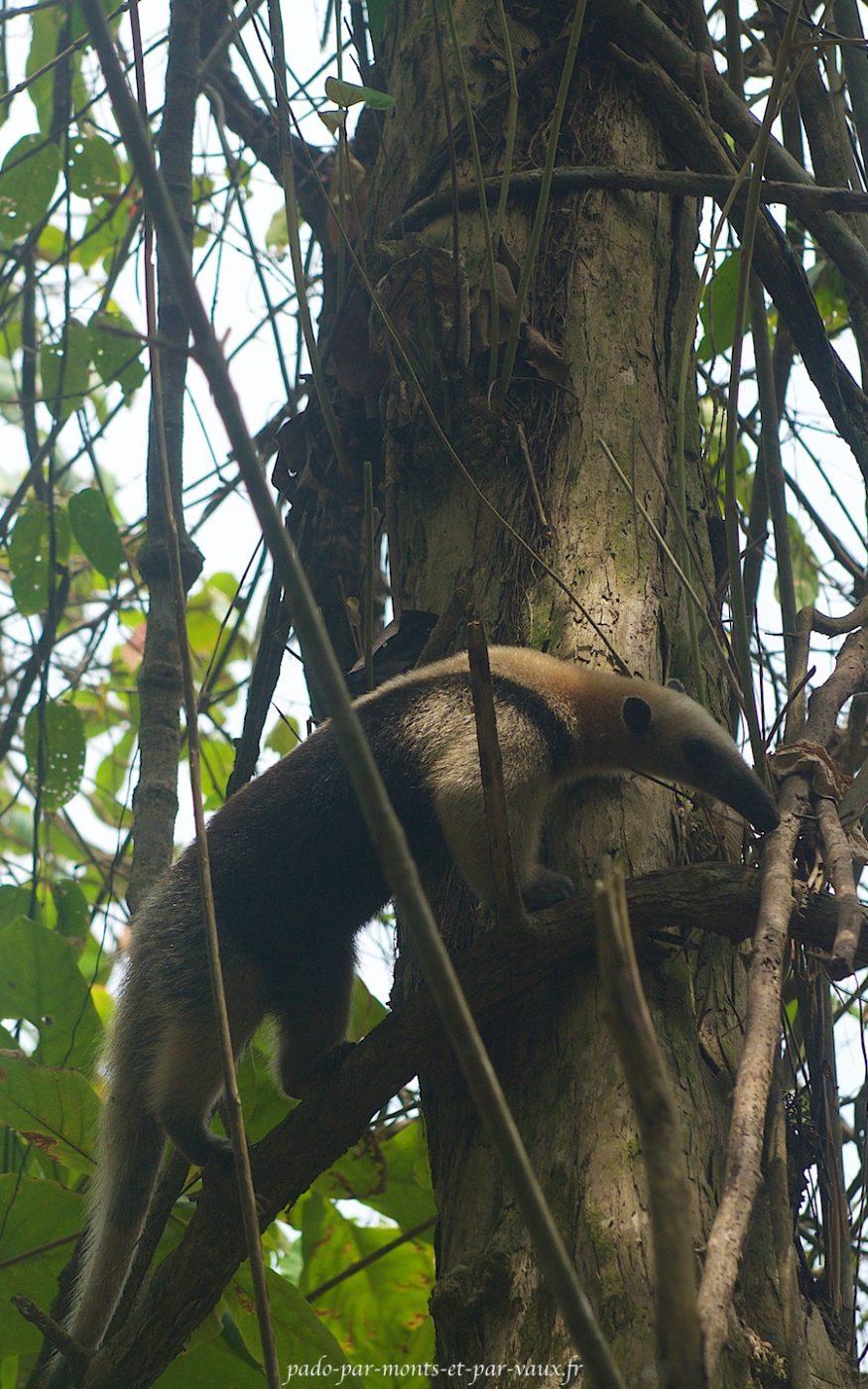 Tamandua du Mexique