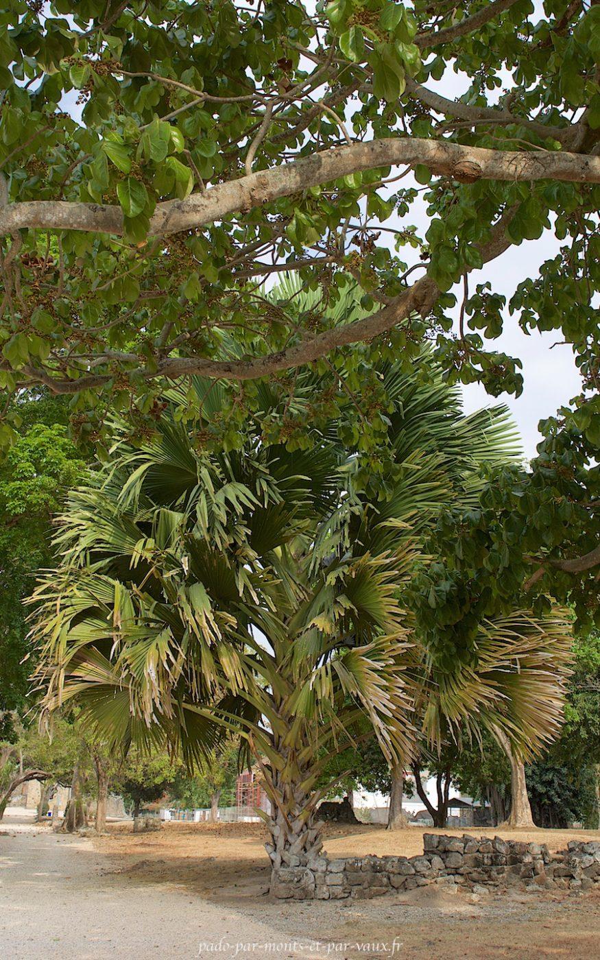 Panama Vieja - Flore