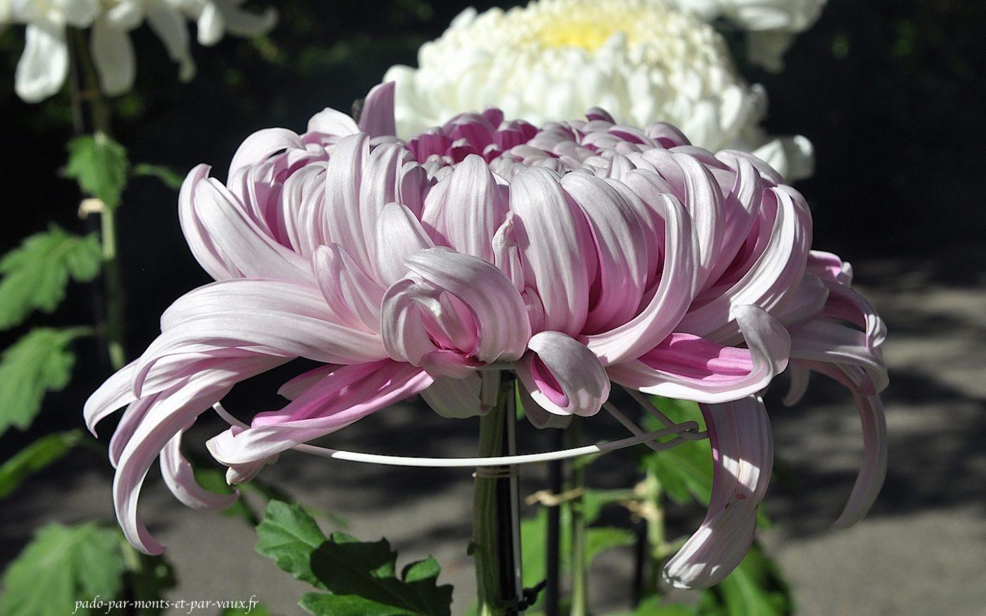 chrysanthème géant