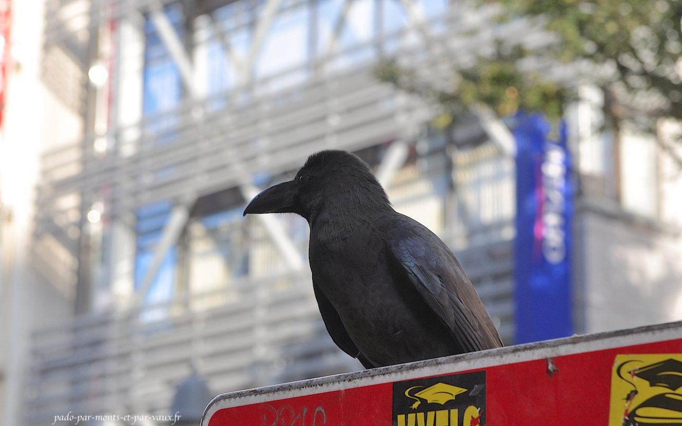 Shibuya - corbeau
