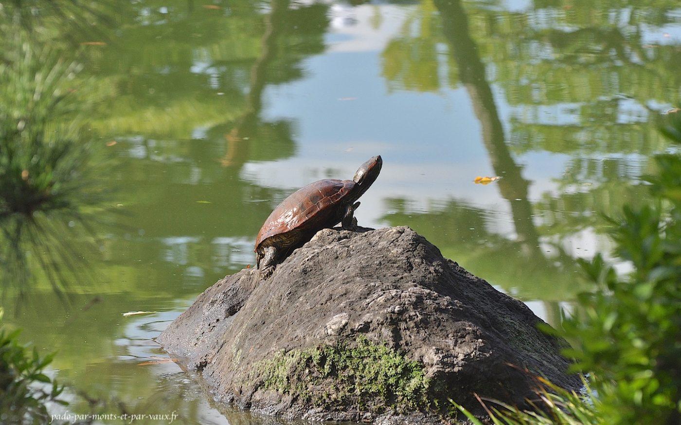 Jardins Kiyosumi Tei-en - tortue