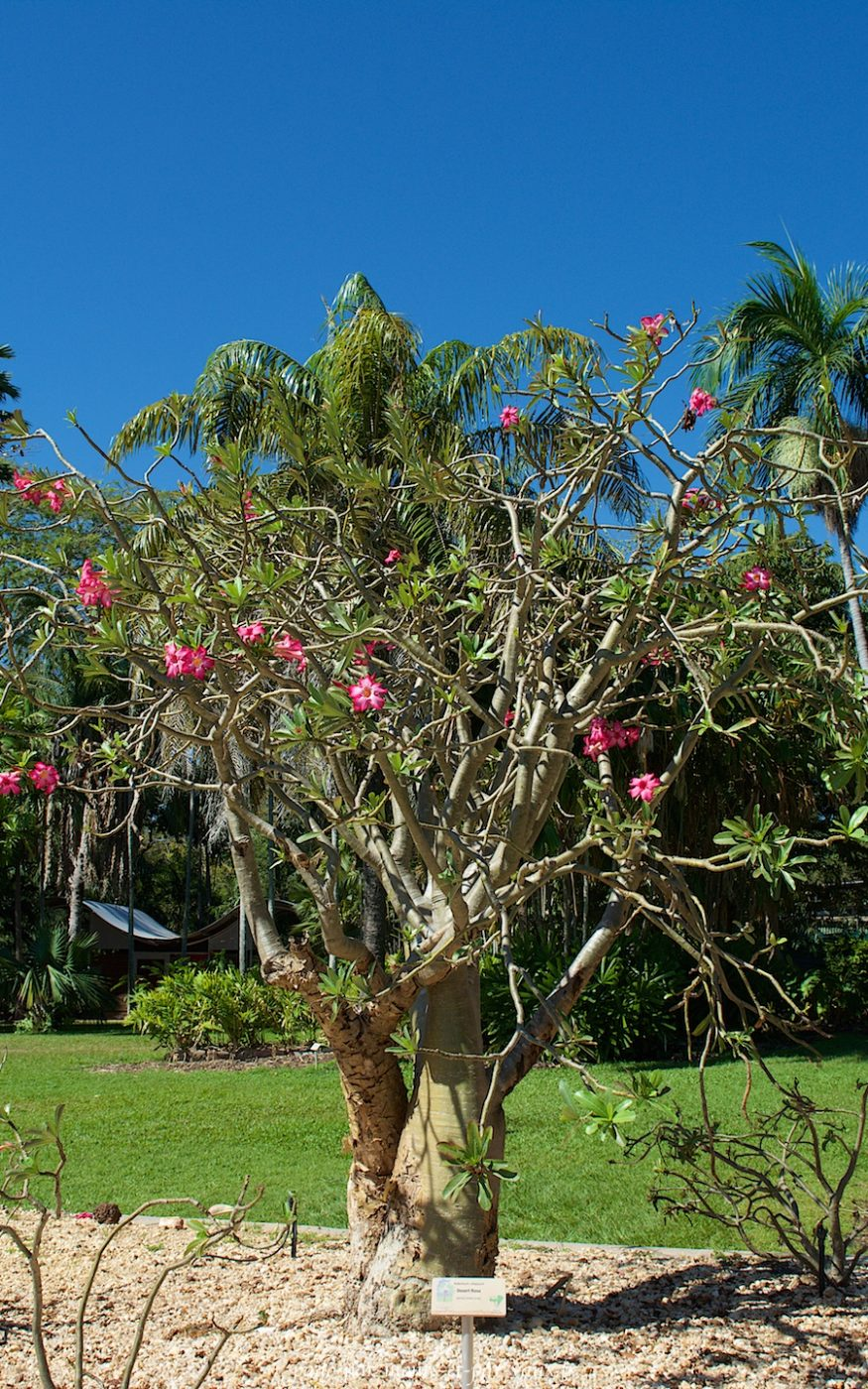 George Brown Botanic Garden - Rose du désert