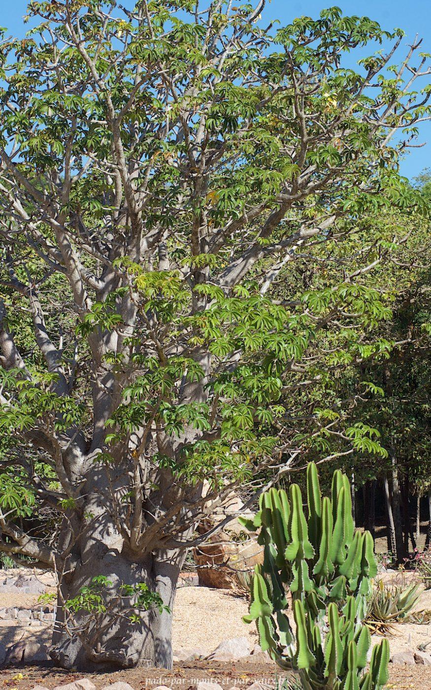 George Brown Botanic Garden - Baobab