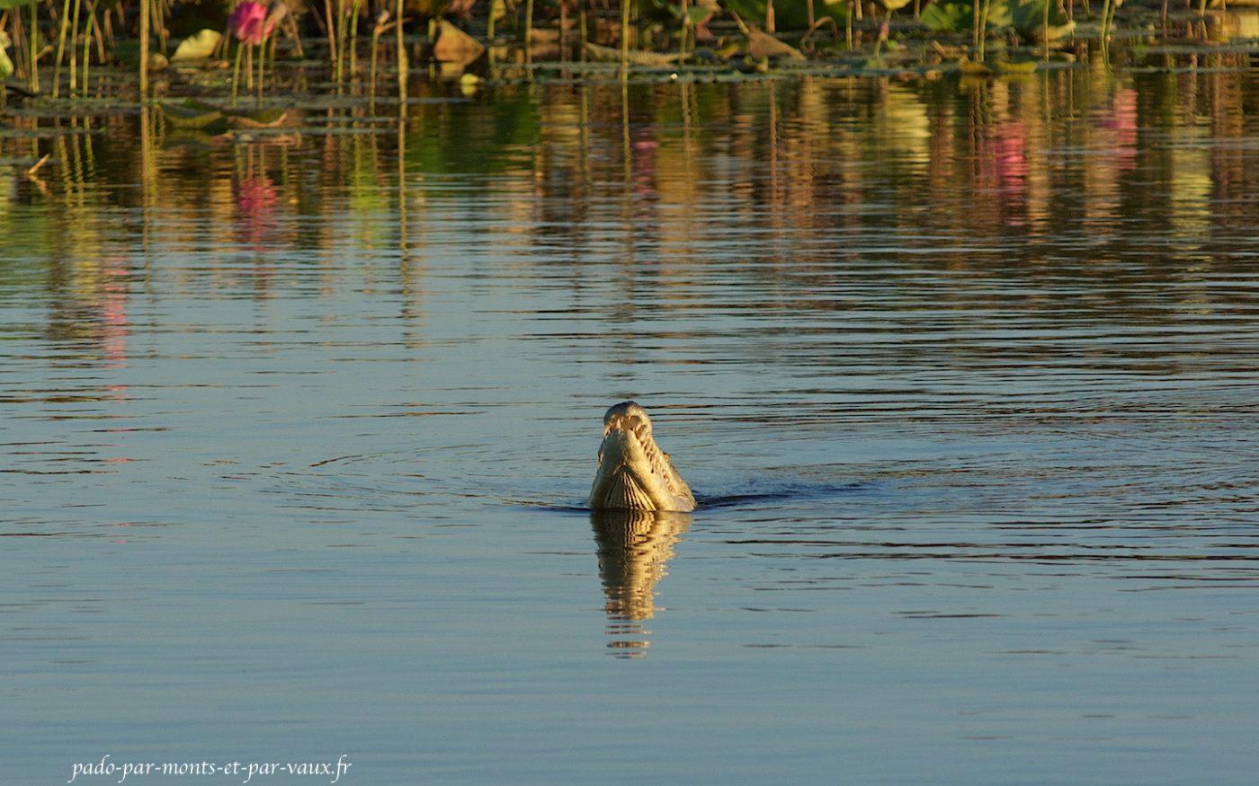 Sur la Yellow river - crocodile