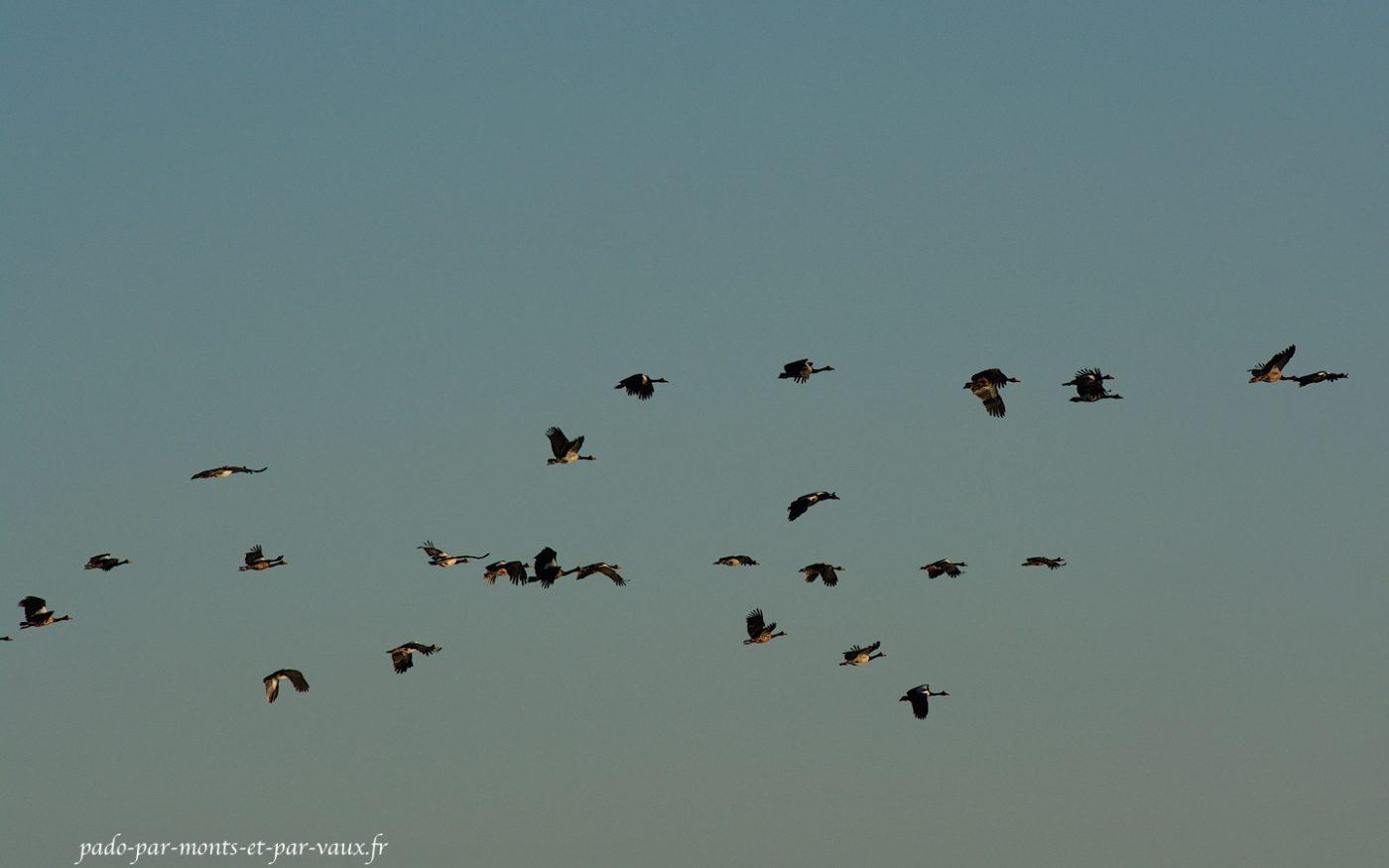 Vol de canaroies semi-palmées