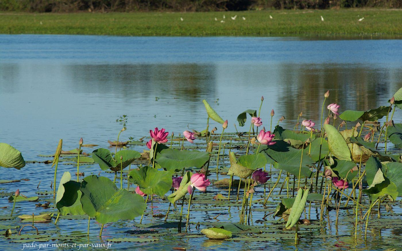 Sur la Yellow river - lotus