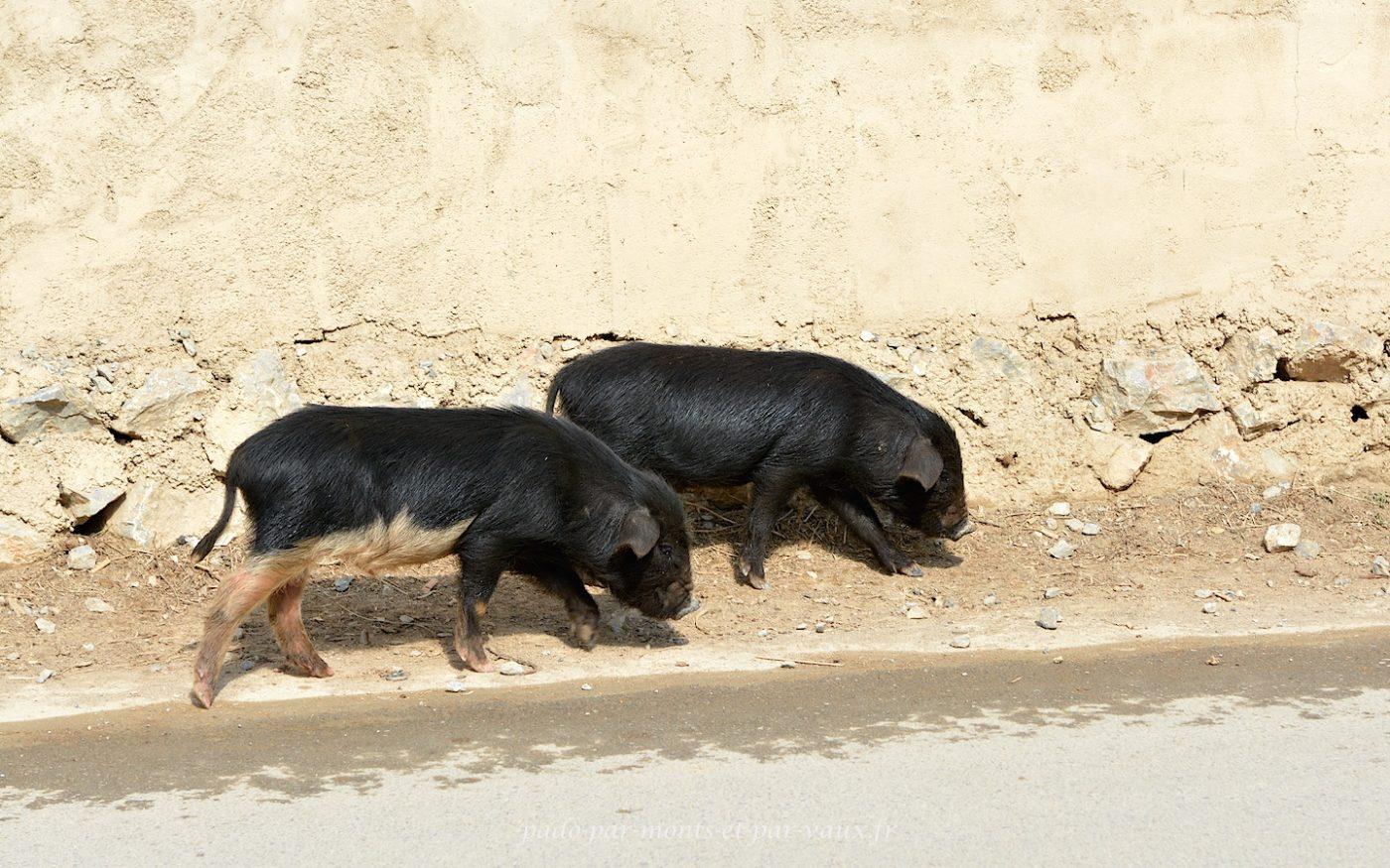Cochons noirs