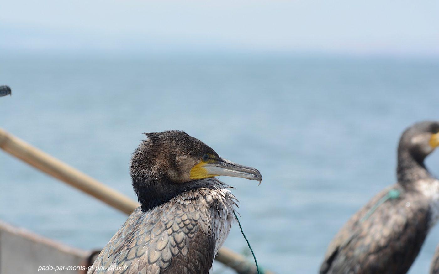Pêche au cormoran sur le lac Erhai