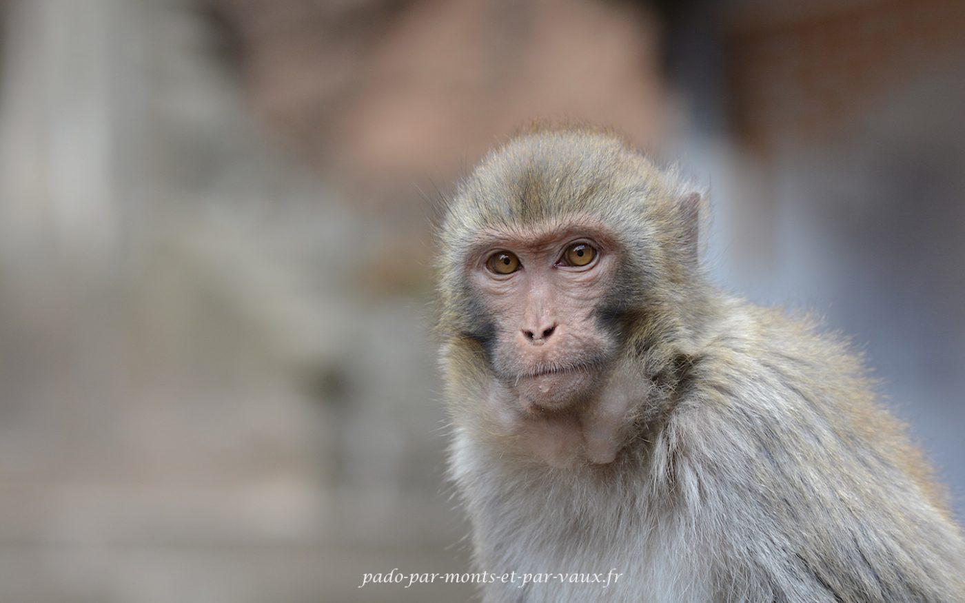 Montagnes de Shibaoshan - Macaques