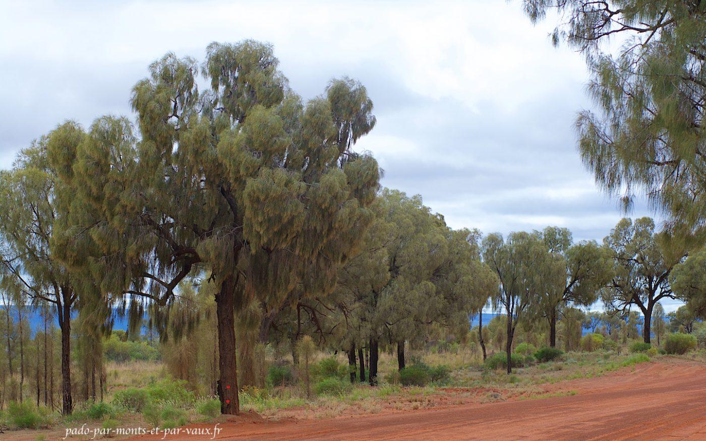 Mereenie loop - Desert oak