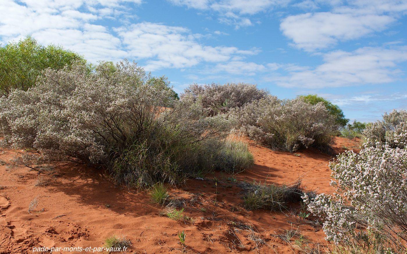 Desert thryptomene