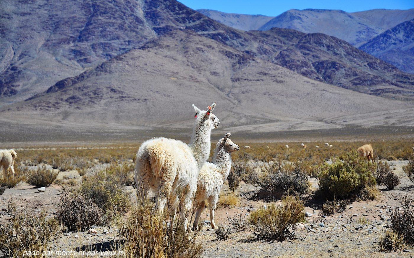 lamas sur la route de Salinas Grandes