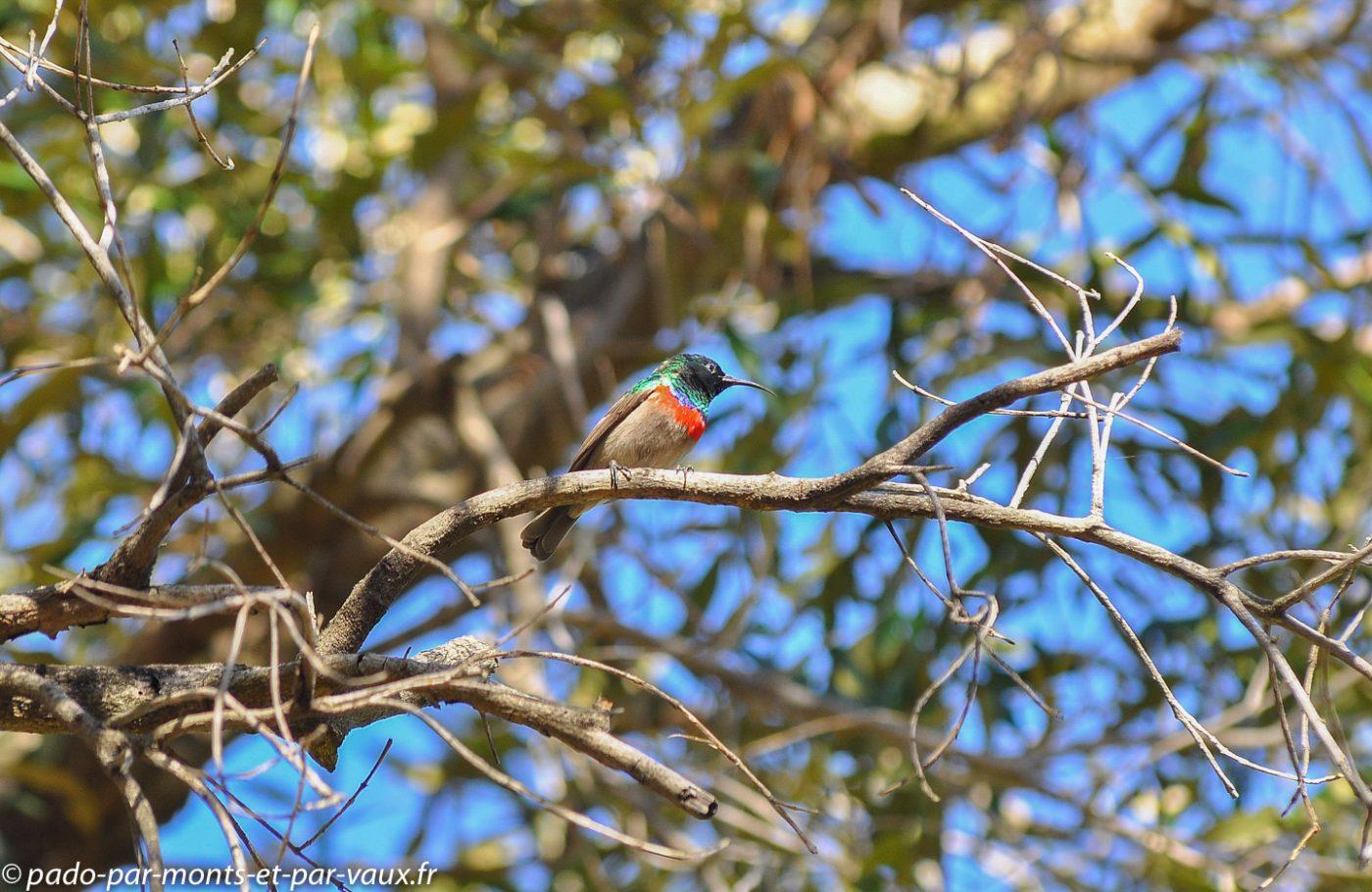 Cape Town - Kirstenbosch Garden - Souimanga chalybée