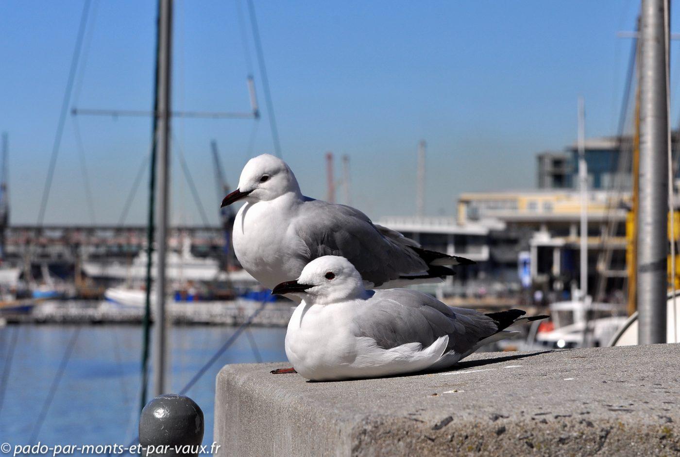 Cape Town - Waterfront - Mouettes de Hartlaub