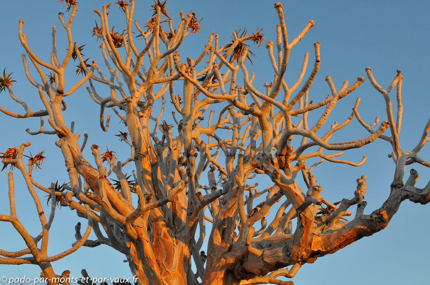 Parc du Gondwana - Arbre à carquois