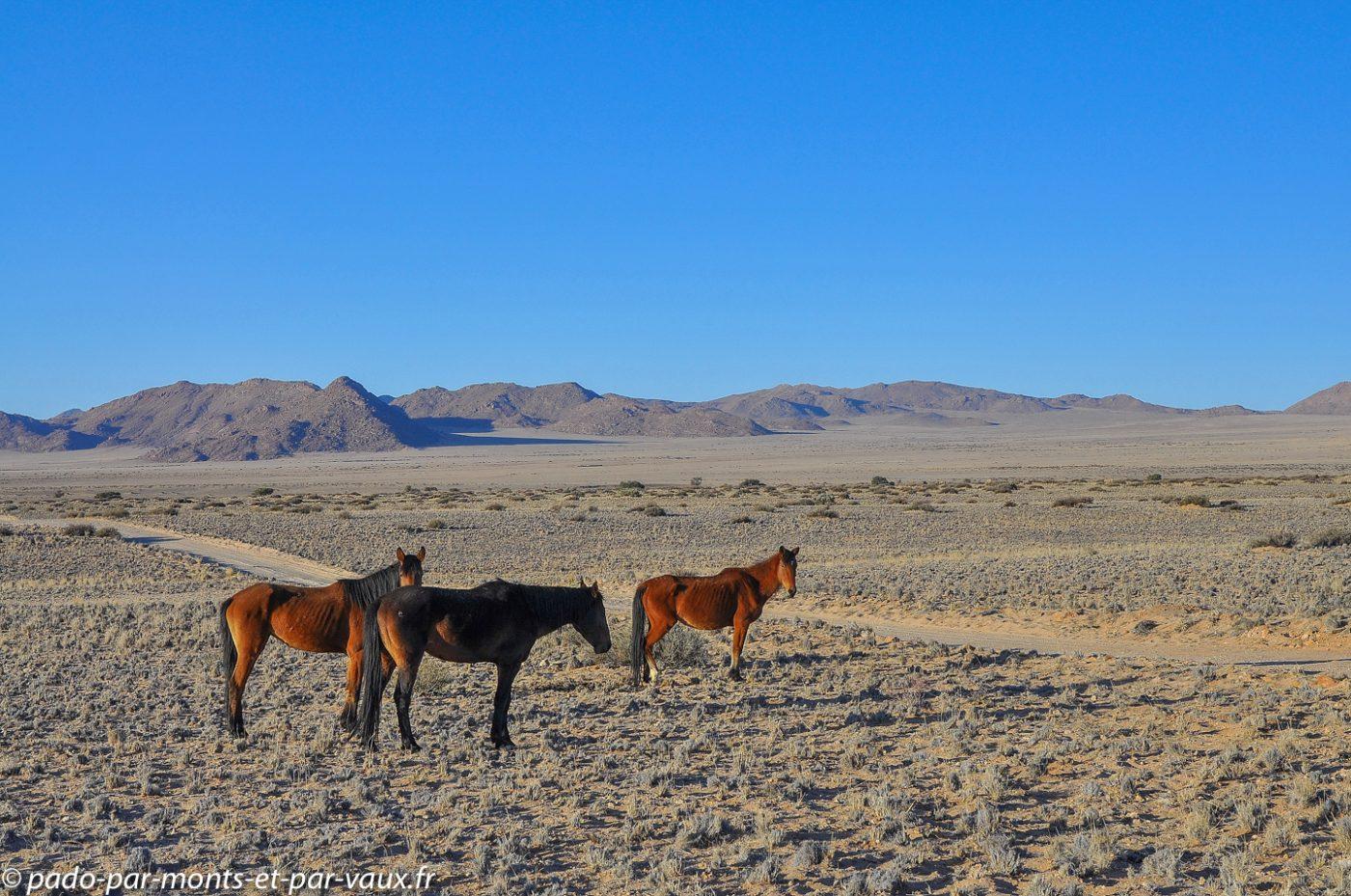 retour vers Aus - chevaux sauvages