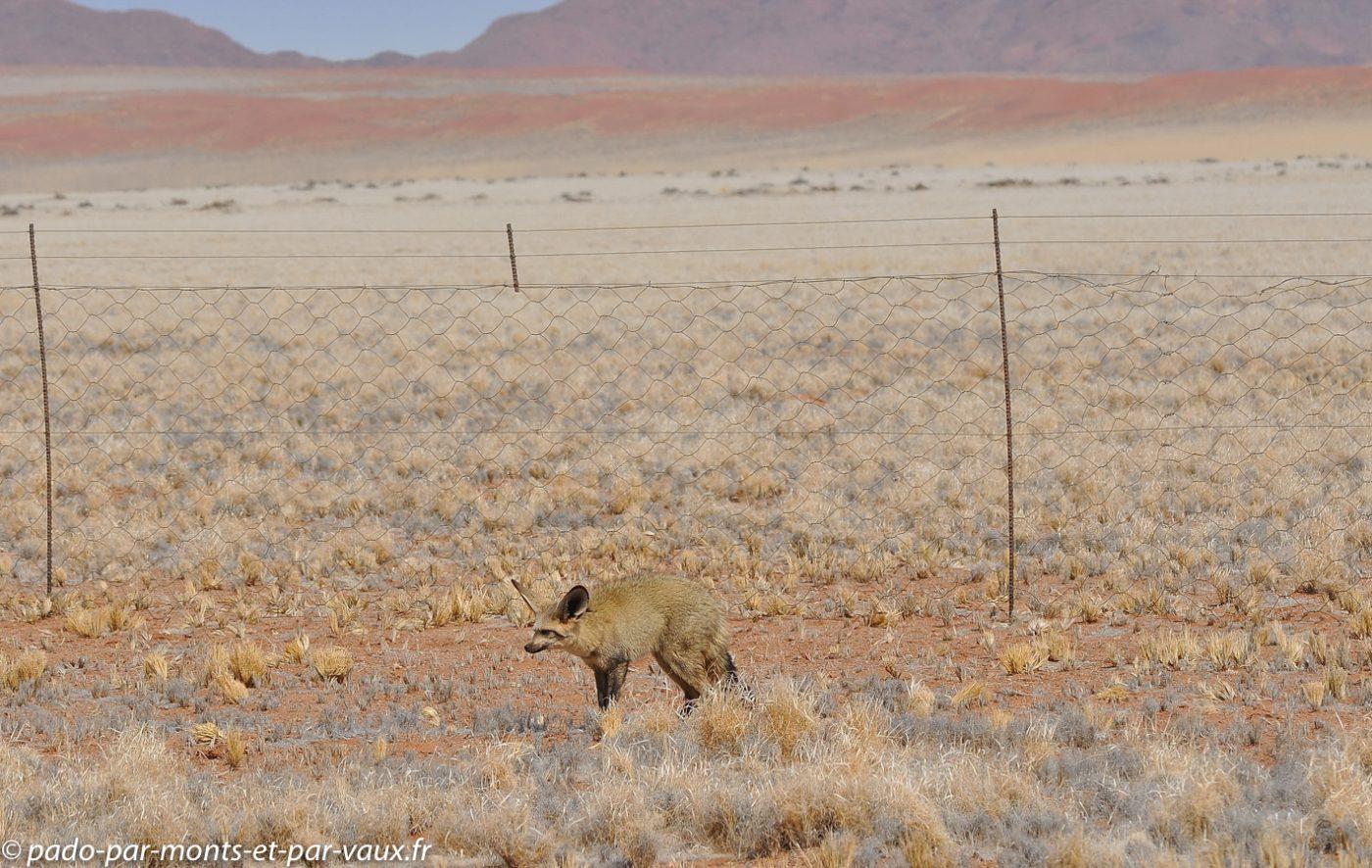 Namibie 2013 - D707 vers la Namib Rand reserve - Otocyon