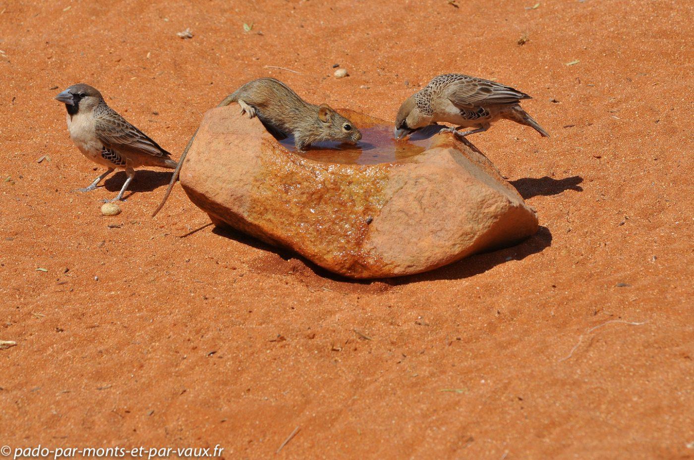 Namibie 2013 - Tok Tokkie trail - Republicains sociaux et souris rayee