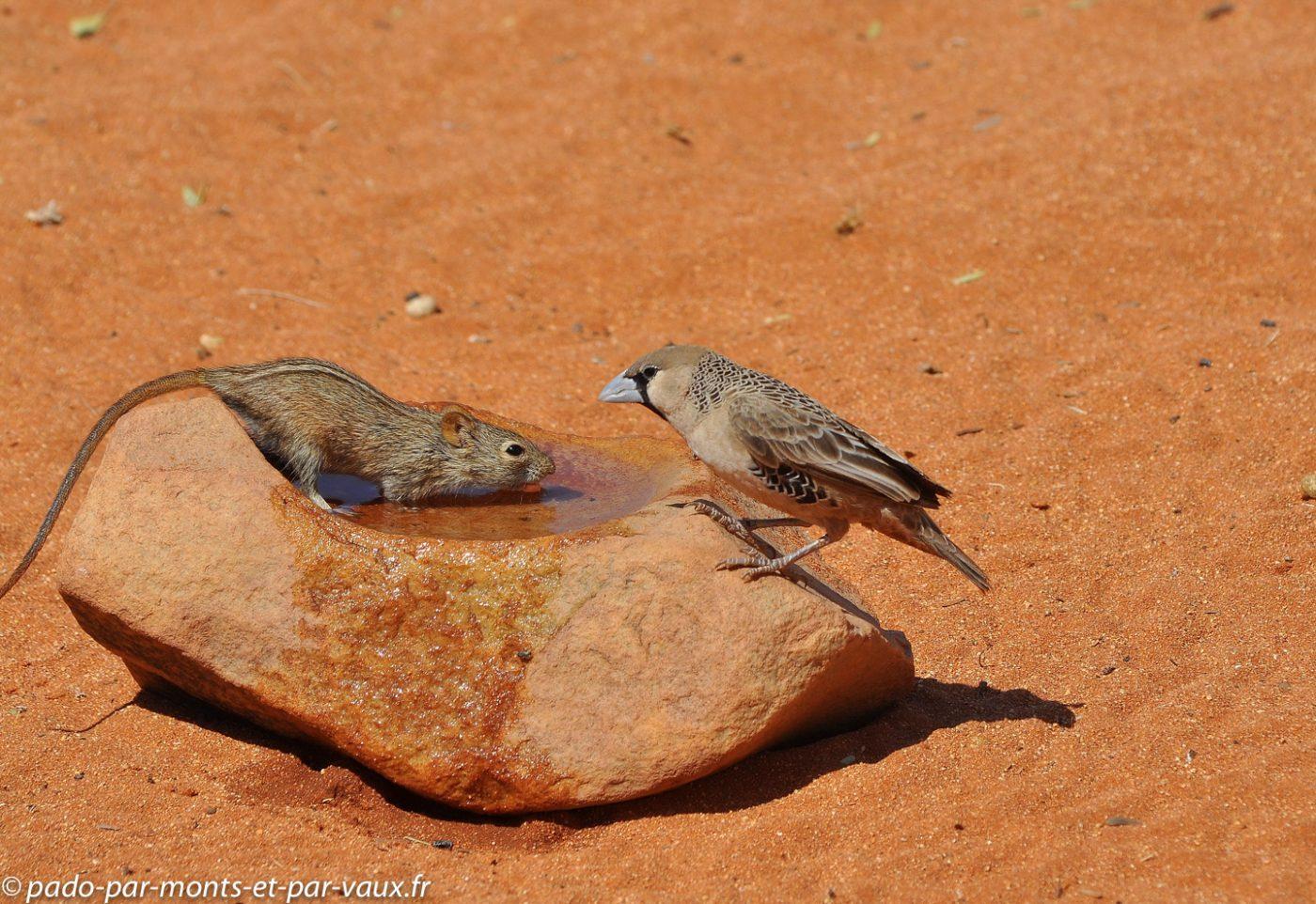 Namibie 2013 - Tok Tokkie trail - souris rayee et republicain