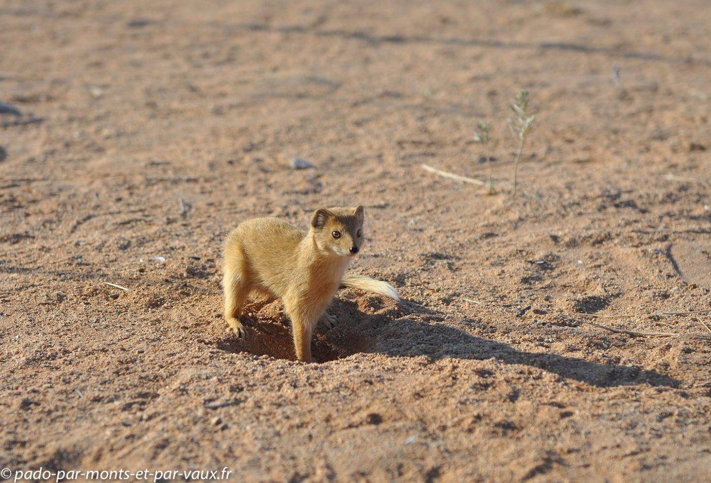 Namibie 2013 - Solitaire - Mangouste jaune