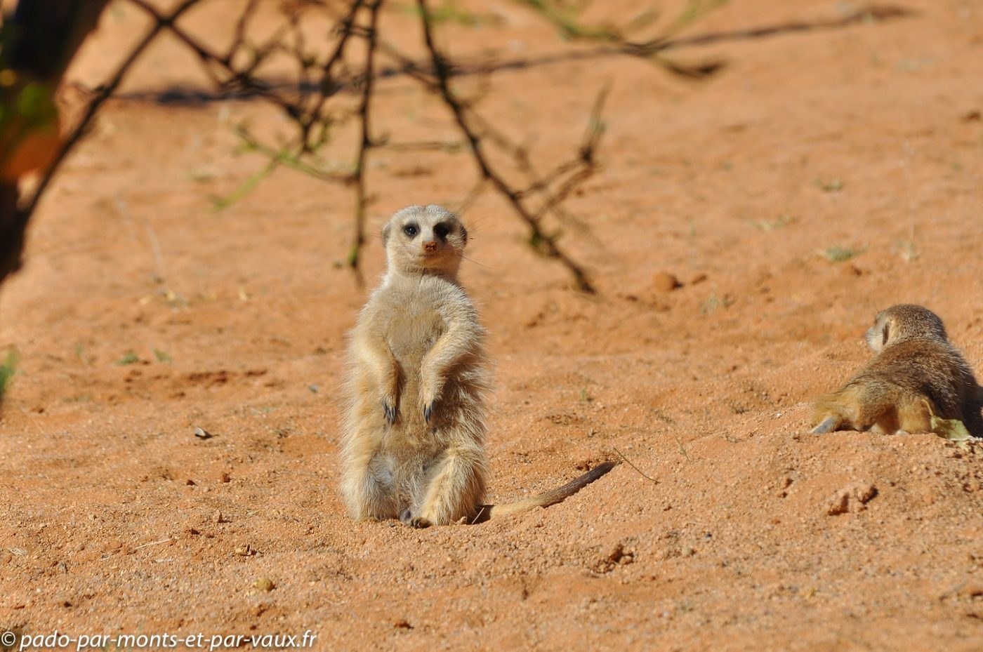 Namibie 2013 - Barchan Dune Retreat - Suricate