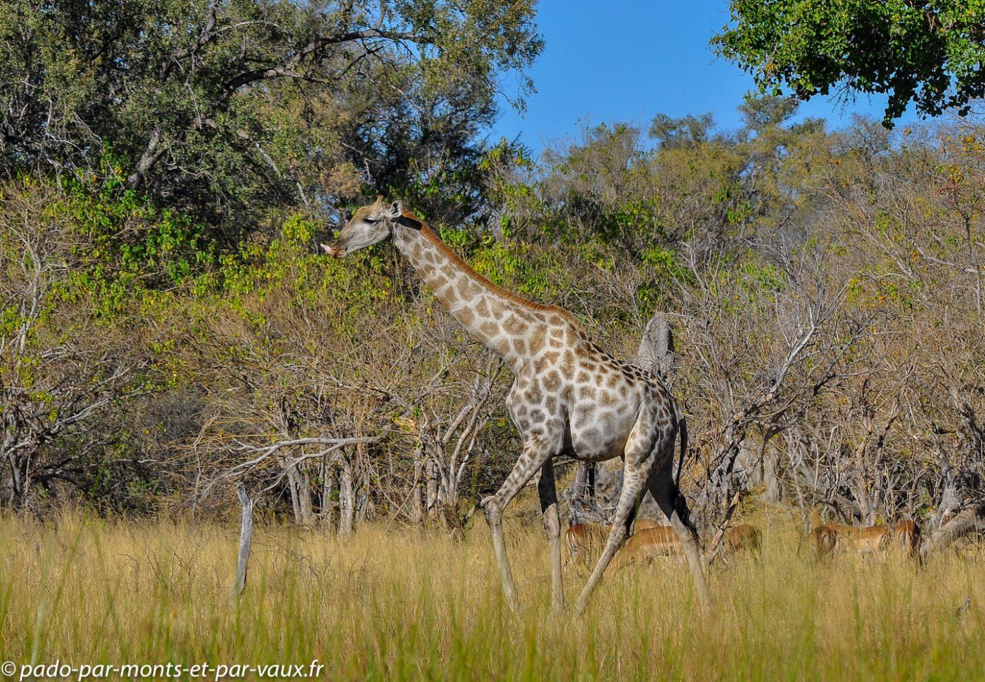 Gunn's camp - Girafe