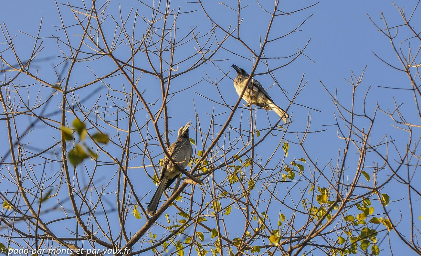 Thamalakane lodge - Calao à bec noir