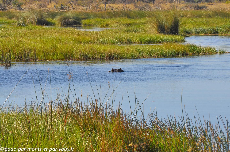 Gunn's camp - hippopotame