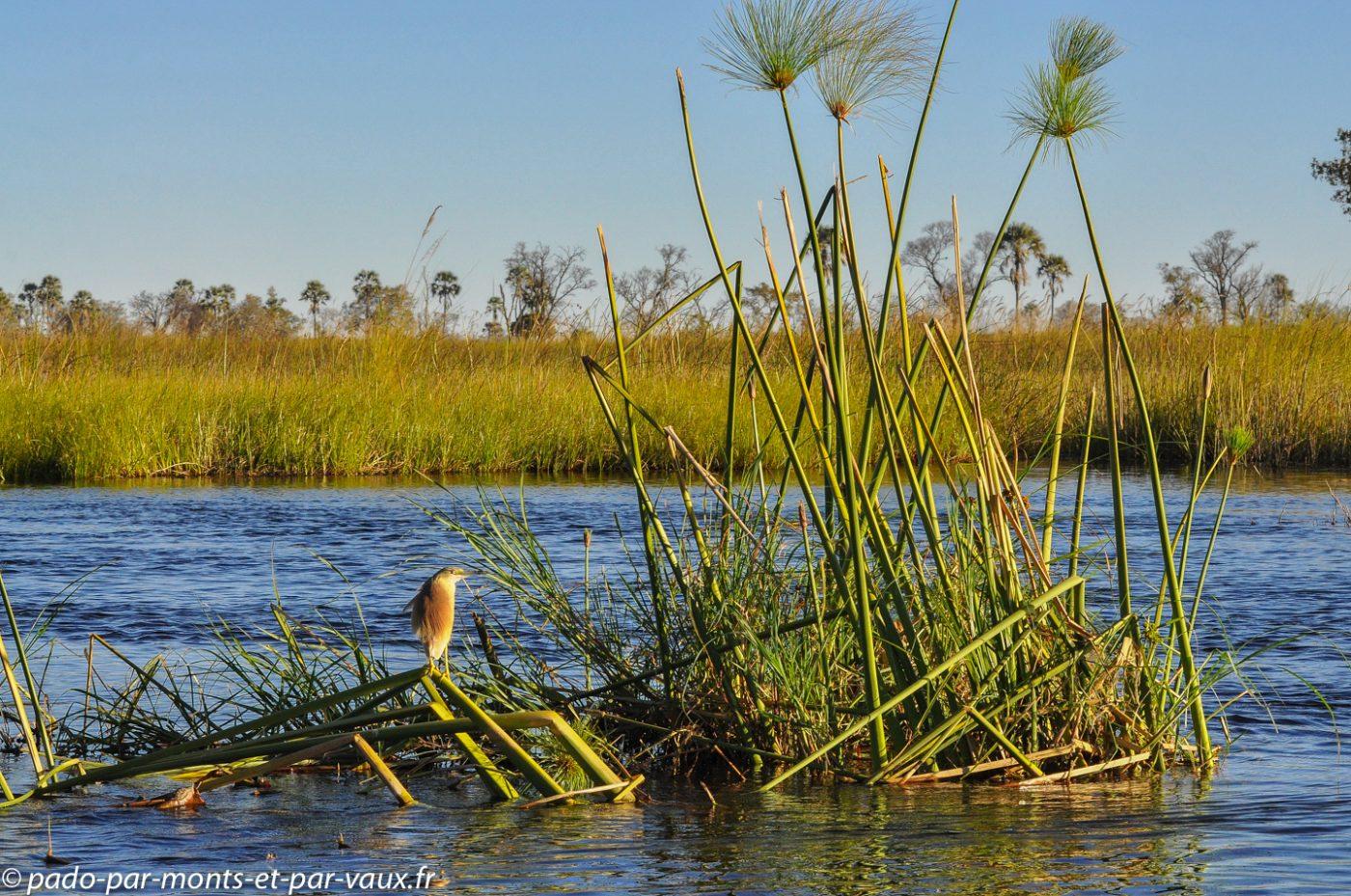 Botswana 2013 - Gunns camp - Crabier chevelu