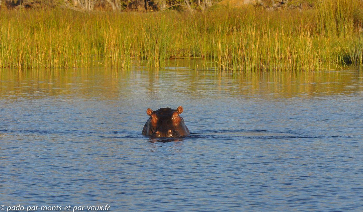 Botswana 2013 -Gunns camp - Hipoppotame