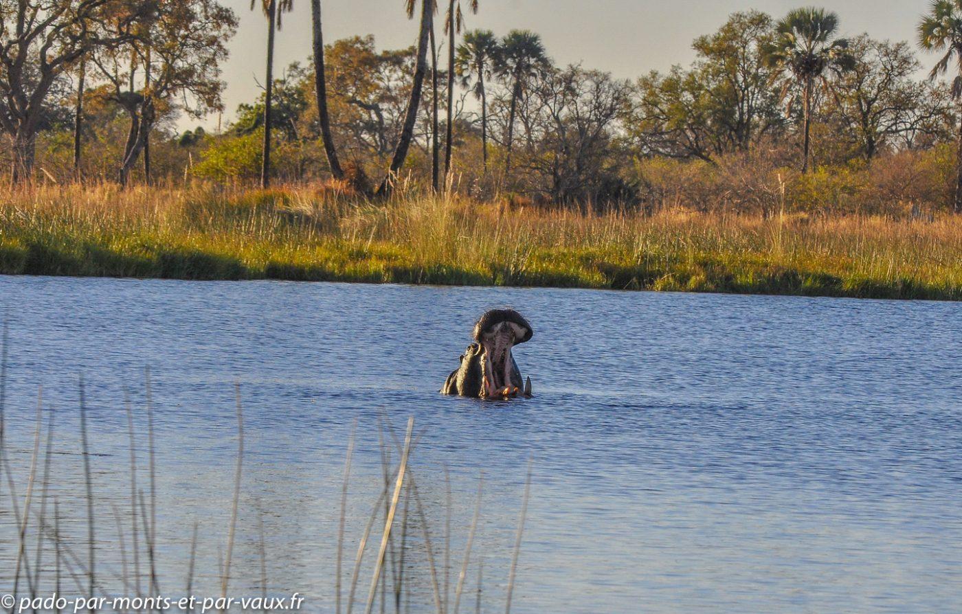 Botswana 2013 -Gunns camp - Hippopotame