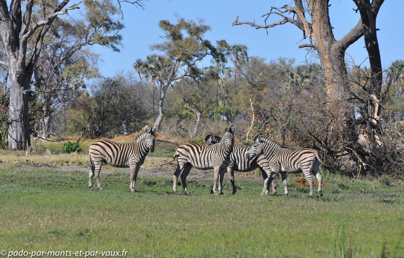 Botswana 2013 - Gunns camp - Zèbres