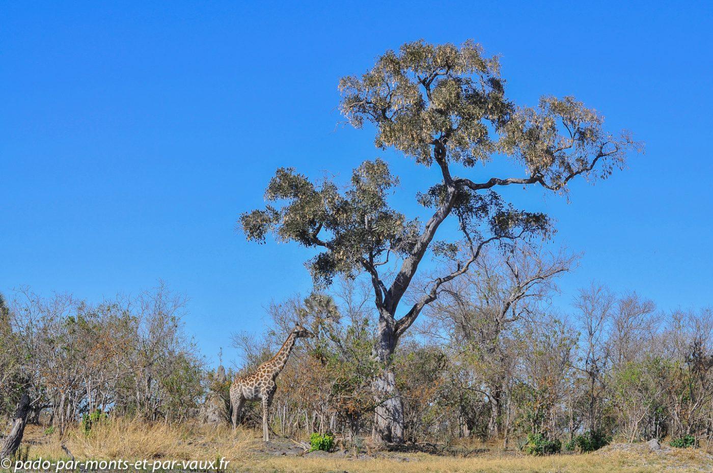 Botswana 2013 - Gunns camp - Girafe