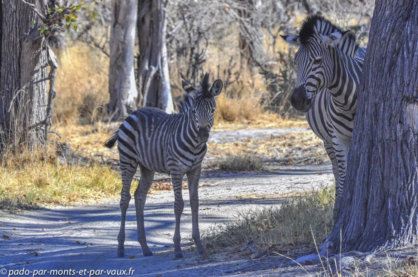 Botswana 2013 -Camp Moremi - Zebres