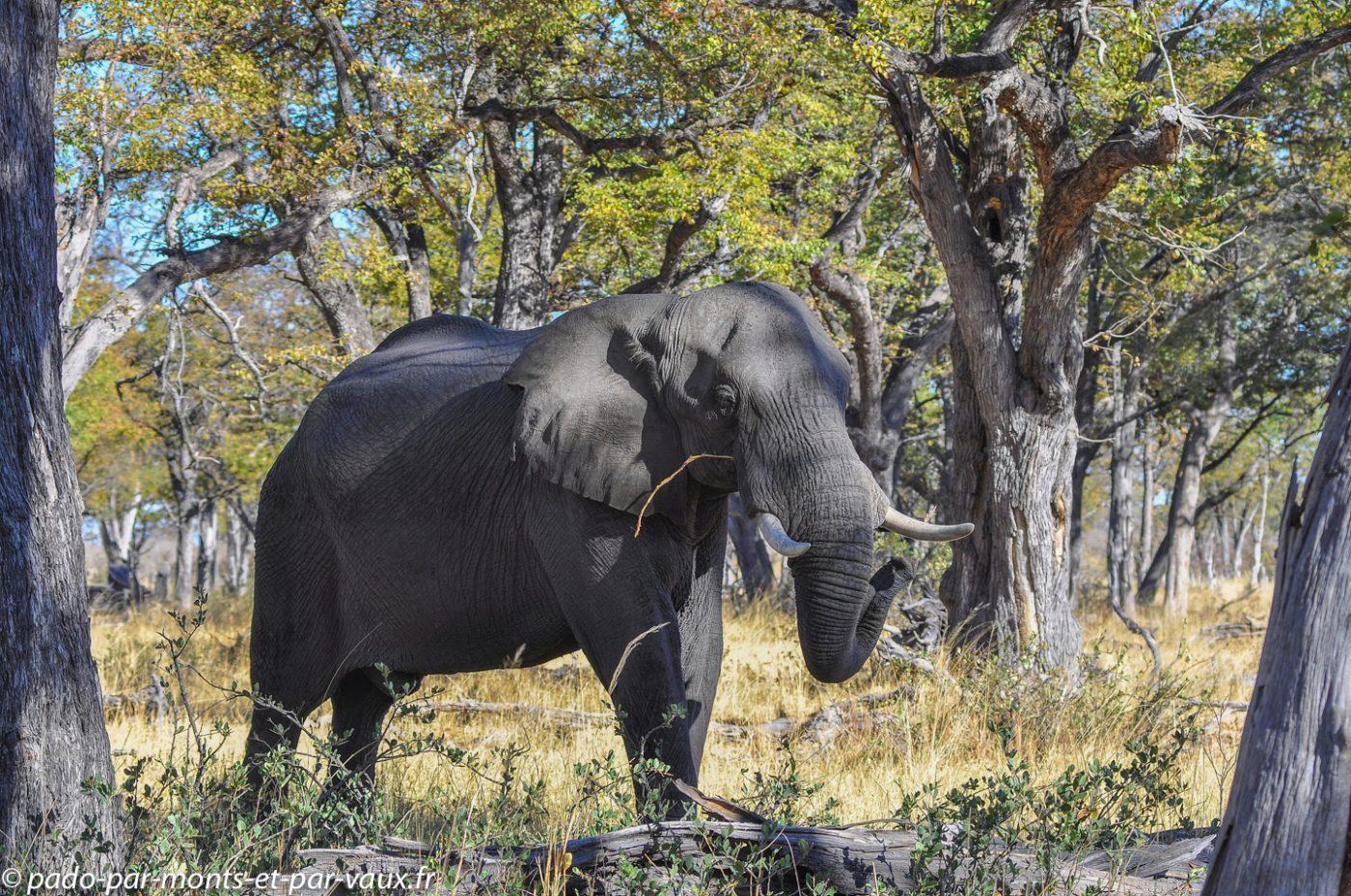 Moremi - Elephant