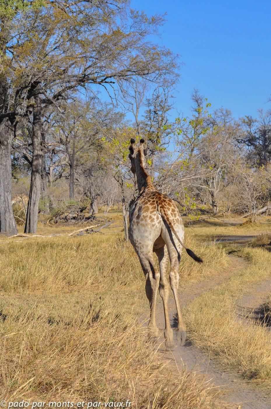 Moremi - Girafe