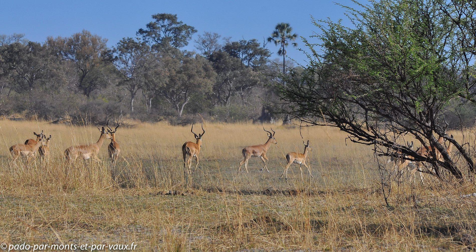 Gunn's camp - impalas