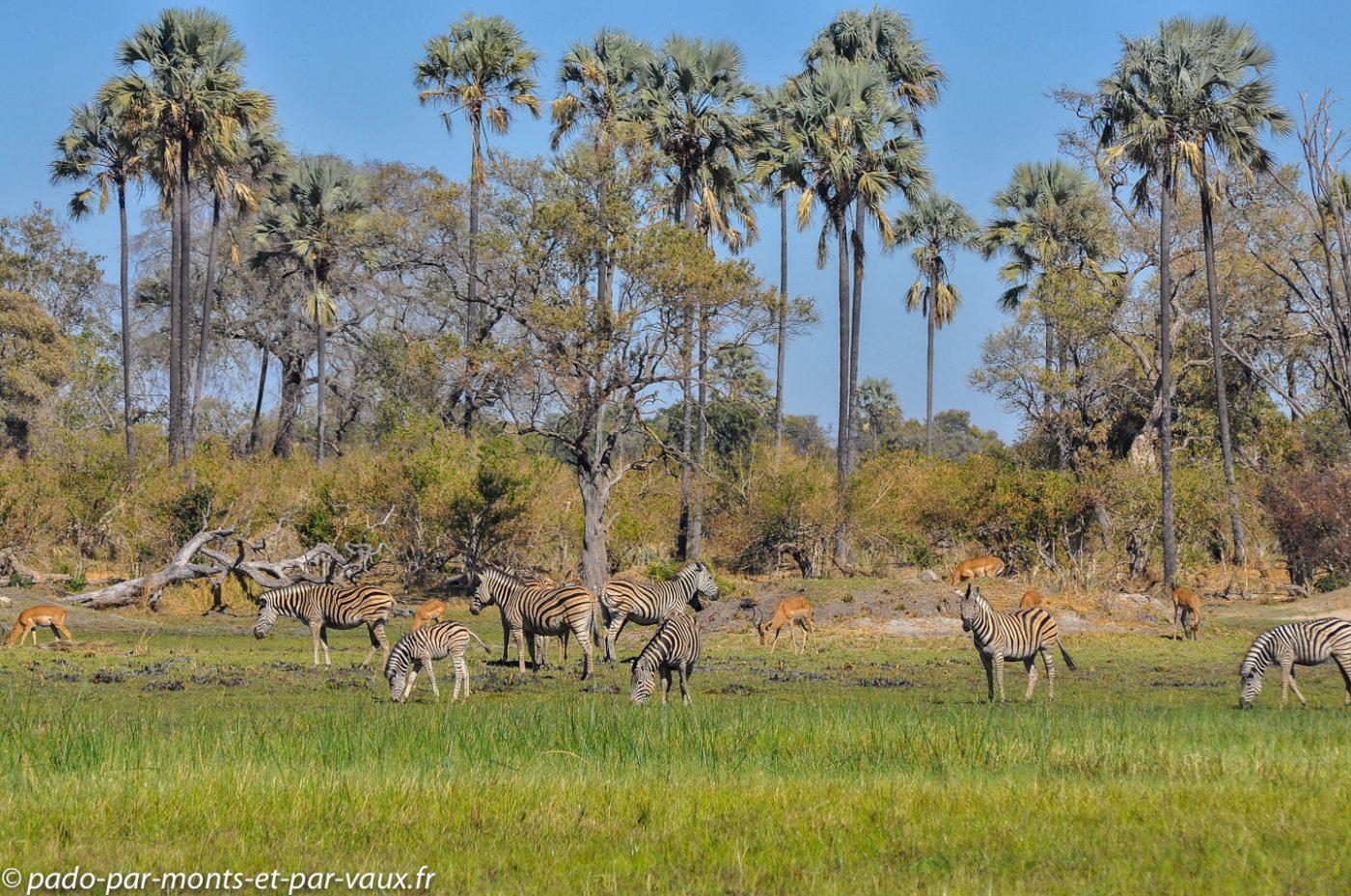 Gunn's camp - Zèbres et impalas