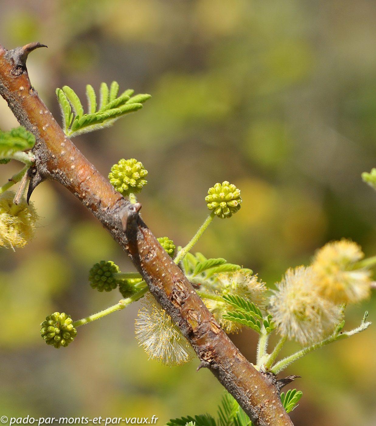 Gunn's camp - flore - acacia