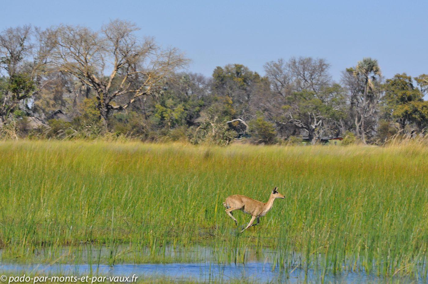 Botswana 2013 - Gunns camp - Grand Cobe des roseaux
