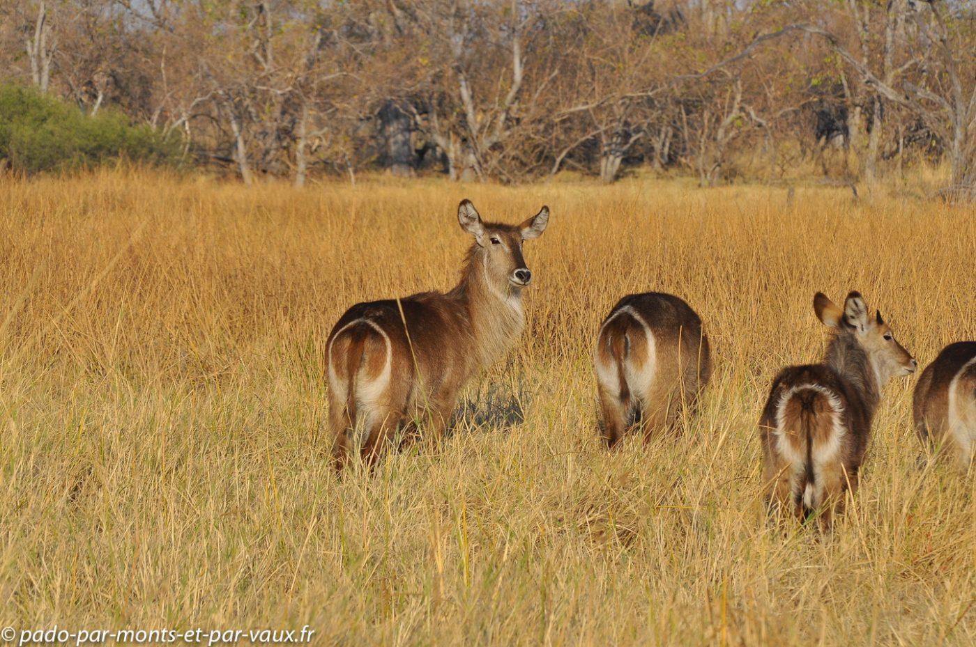 Botswana 2013 - Moremi - Cobe a croissant