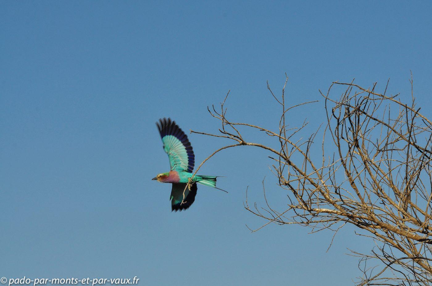 Botswana 2013 - Moremi - Rollier a longs brins