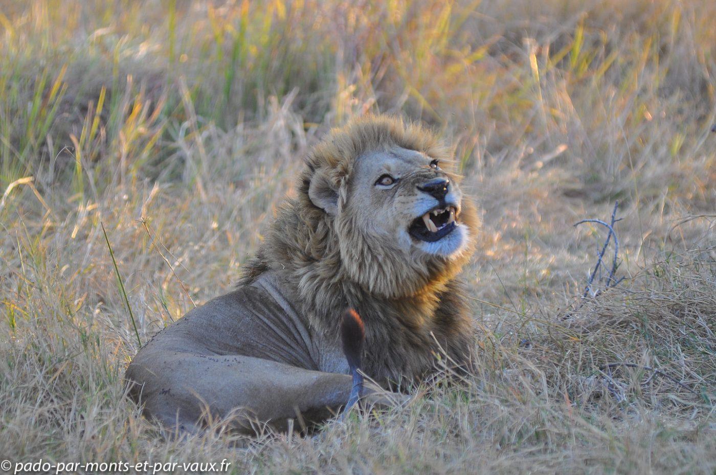 Botswana 2013 - Moremi - Lion