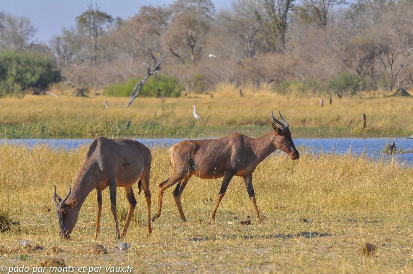 Botswana 2013 - Moremi - Sassabi