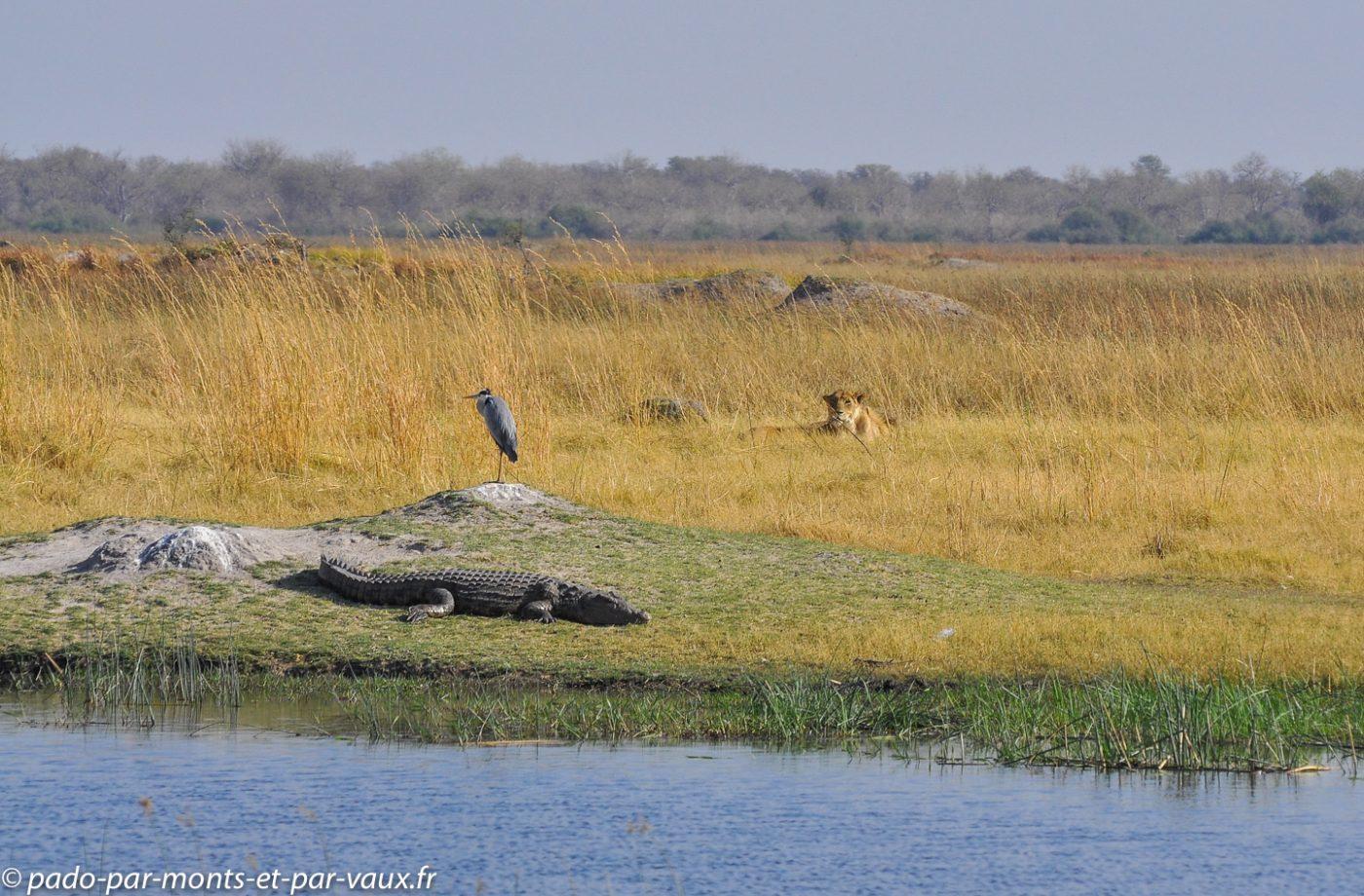 Botswana 2013 -Moremi - Héron cendre Crocodile et lionne
