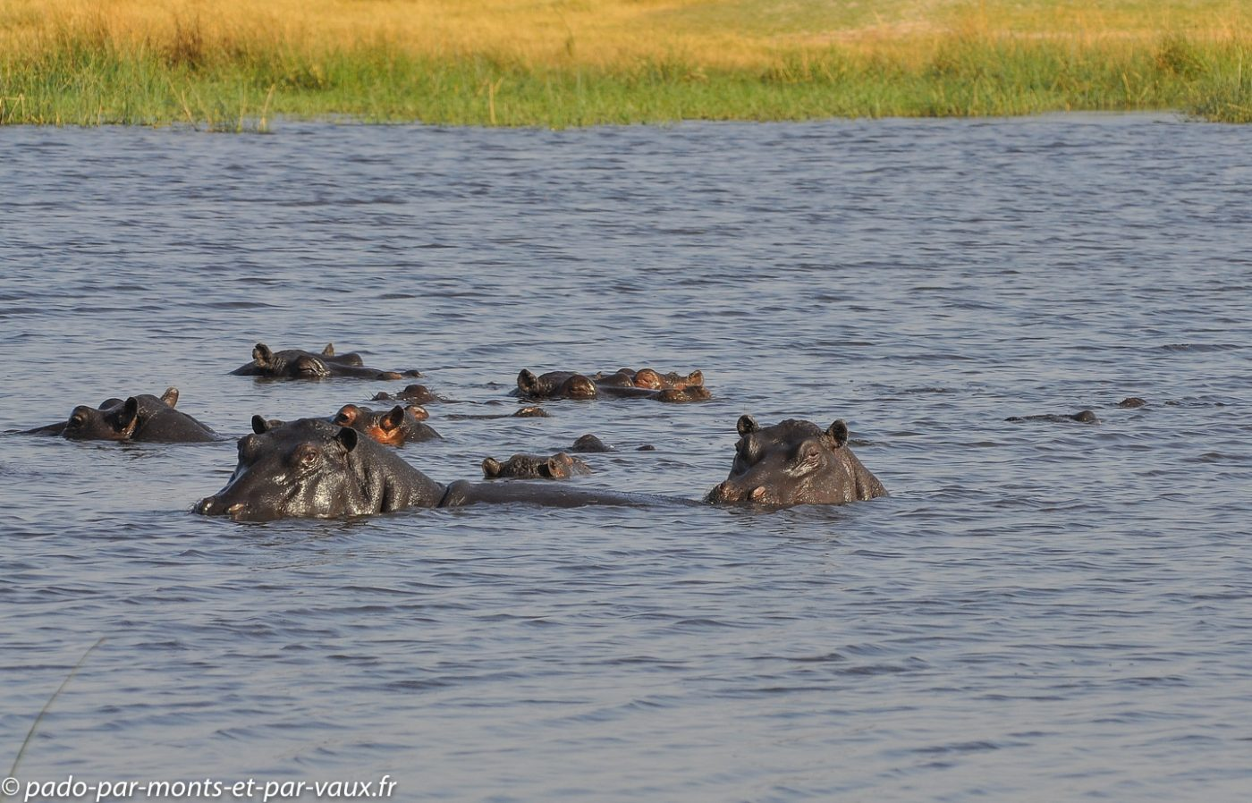 Botswana 2013-  Moremi - Hippopotame