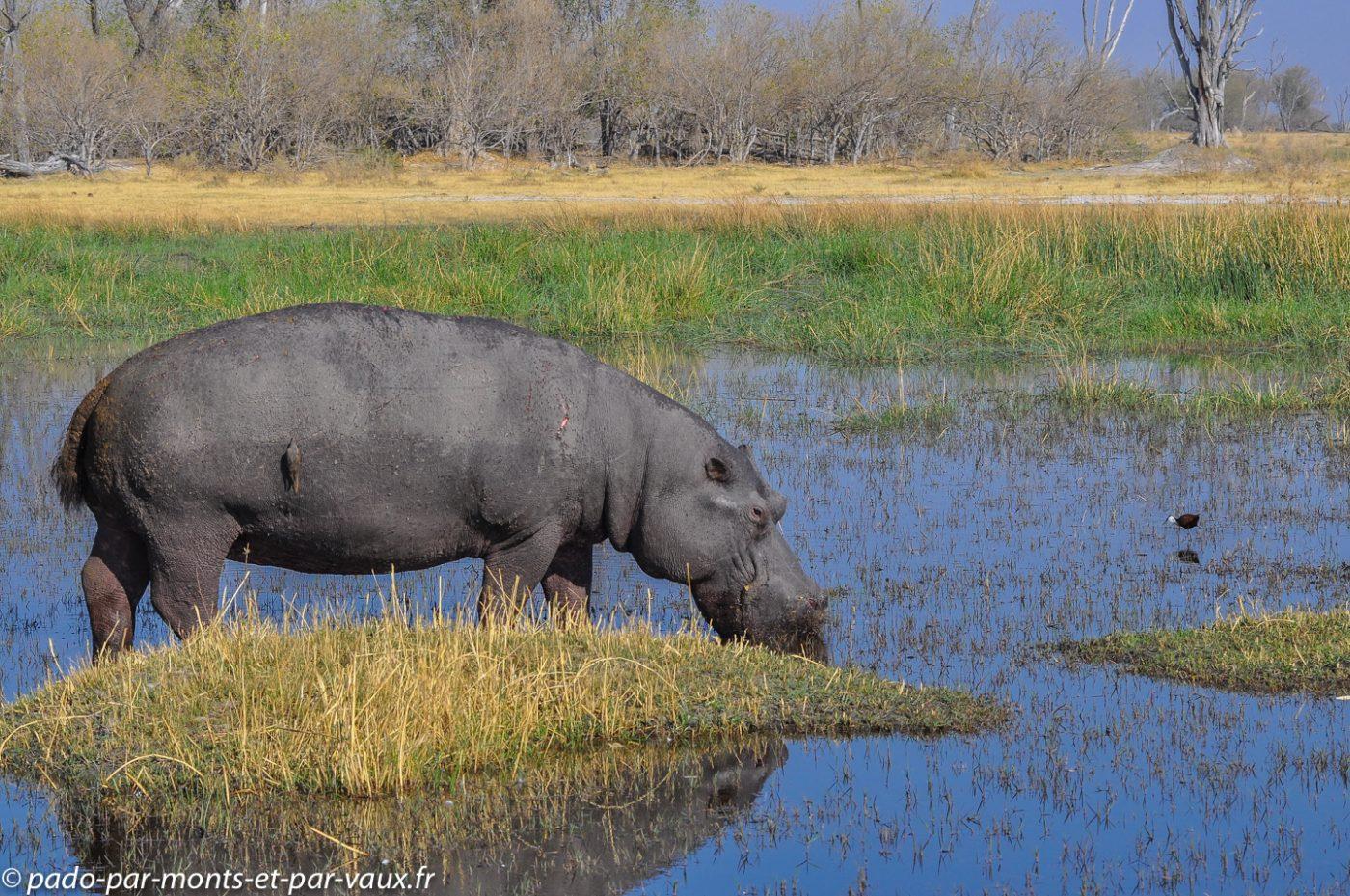 Botswana 2013 - Moremi - Hippopotame - piqueboeuf bec rouge