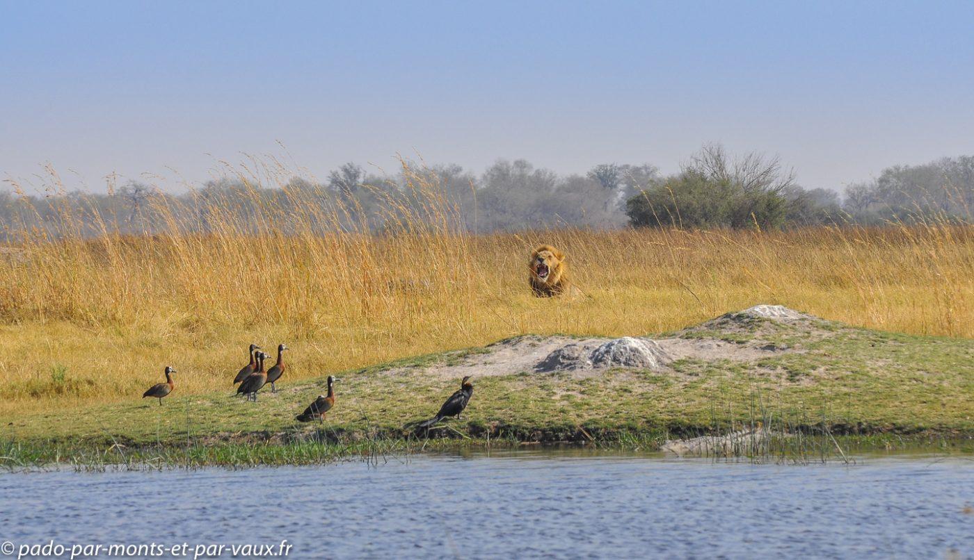 Botswana 2013 - Moremi - Dendrocygnes veuf et anhinga et lion